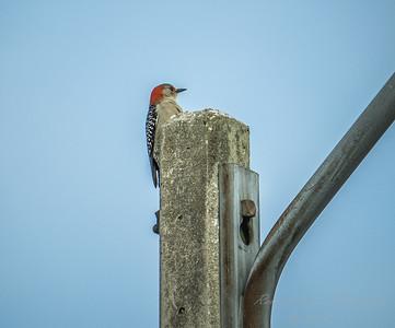 Red-bellied Woodpecker  (AMFLUX)   2018-02-11-2110027