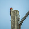 Red-bellied Woodpecker  (AMFLUX)   2018-02-11-2110027