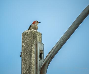 Red-bellied Woodpecker  (AMFLUX)   2018-02-11-2110011