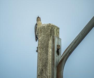 Red-bellied Woodpecker  (AMFLUX)   2018-02-11-2110007