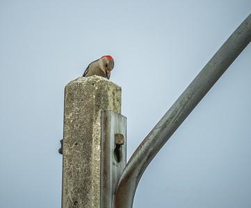 Red-bellied Woodpecker  (AMFLUX)   2018-02-11-2110018