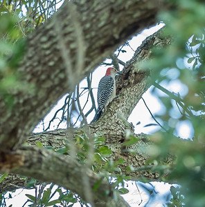2018-11-11_PB110007_red-bellied woodpecker