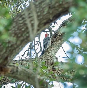 2018-11-11_PB110009_red-bellied woodpecker