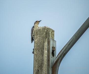 Red-bellied Woodpecker  (AMFLUX)   2018-02-11-2110006