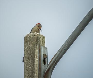 Red-bellied Woodpecker  (AMFLUX)   2018-02-11-2110020