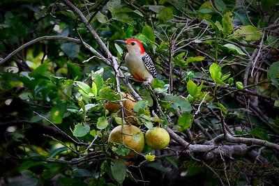 2013-10-19_IMG_0066_Red Bellied Woodpecker