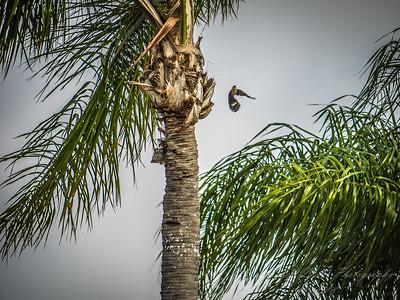 Red-bellied Woodpecker  (AMFLUX)   2018-02-11-2110001