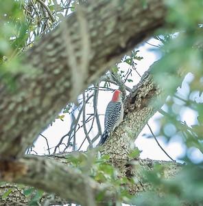 2018-11-11_PB110013_red-bellied woodpecker