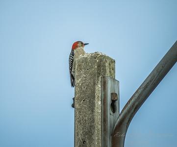 Red-bellied Woodpecker  (AMFLUX)   2018-02-11-2110025