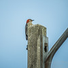 Red-bellied Woodpecker  (AMFLUX)   2018-02-11-2110025