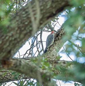 2018-11-11_PB110015_red-bellied woodpecker