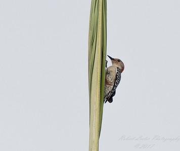 Red-bellied Woodpecker,Clearwater,Fl 2017-12-22-13408082