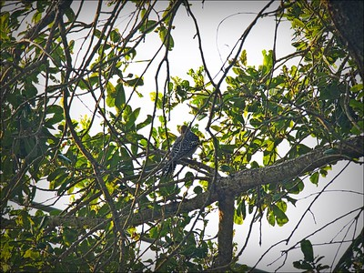 P9060008_red-bellied woodpecker
