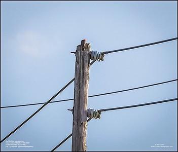 P7020033_red-bellied woodpecker