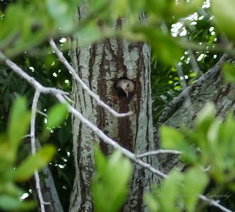 Red-bellied Woodpecker  (-)   2009-00018