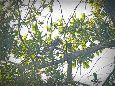 P9060007_red-bellied woodpecker