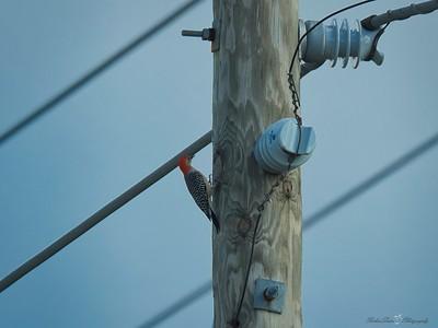 _B130063_Red-bellied Woodpecker
