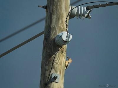 _B130052_Red-bellied Woodpecker