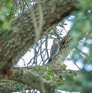 2018-11-11_PB110014_red-bellied woodpecker