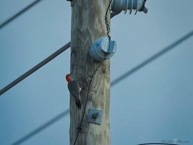 _B130061_Red-bellied Woodpecker