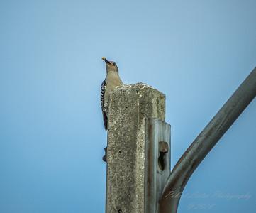 Red-bellied Woodpecker  (AMFLUX)   2018-02-11-2110002