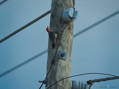 _B130057_Red-bellied Woodpecker