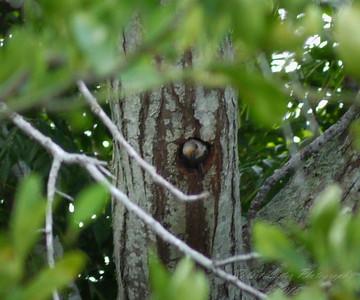 Red-bellied Woodpecker  (-)   2009-00019