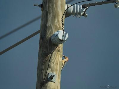 _B130050_Red-bellied Woodpecker
