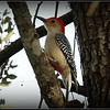 Red-bellied Woodpecker...©PhotosRUs2008