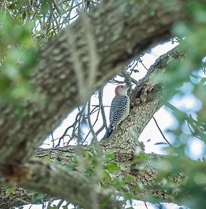 2018-11-11_PB110010_red-bellied woodpecker