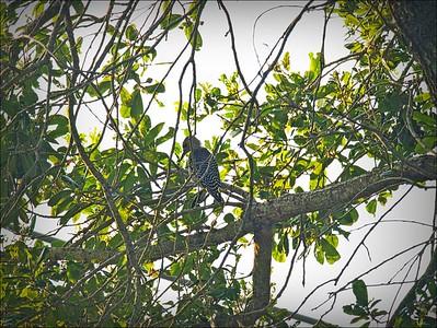 P9060004_red-bellied woodpecker