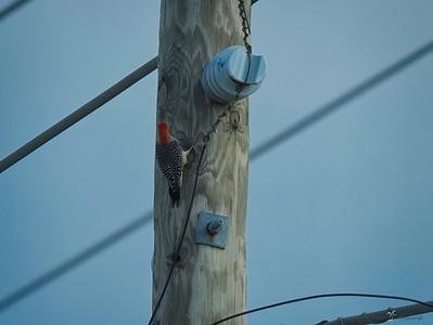 _B130060_Red-bellied Woodpecker