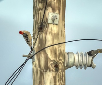 2018-11-06_PB060034_ 300 flash ext  red-bellied woodpecker_2 - Underoos