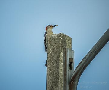 Red-bellied Woodpecker  (AMFLUX)   2018-02-11-2110003