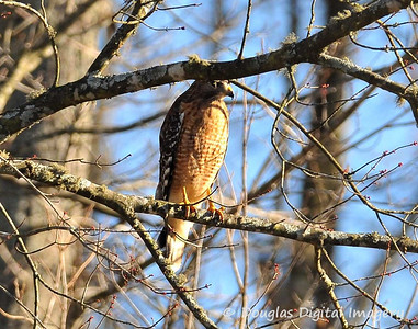 red_shouldered_hawk002