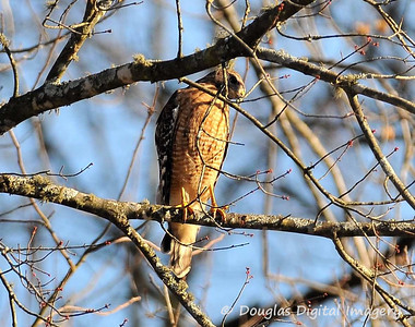 red_shouldered_hawk001