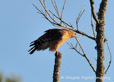 red_shouldered_hawk005