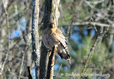 red_shouldered_hawk006
