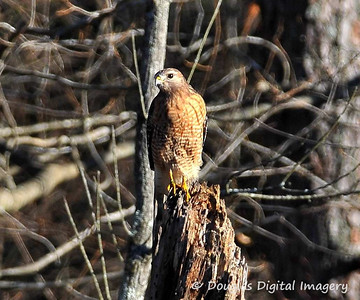 red_shouldered_hawk003