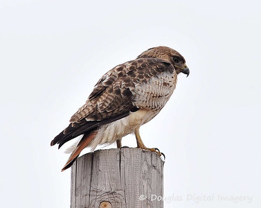 red_tail_hawk001