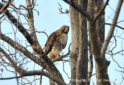 red_tail_hawk004