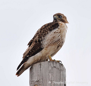 red_tail_hawk002