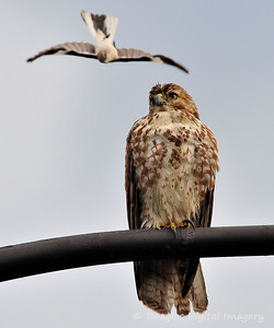 red_tail_hawk51109_001
