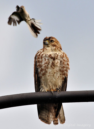 red_tail_hawk51109_005