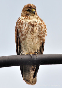 red_tail_hawk51109_003