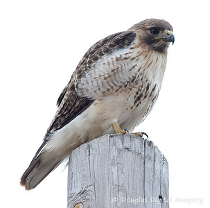 red_tail_hawk006