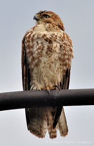 red_tail_hawk51109_006