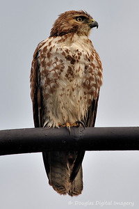 red_tail_hawk51109_004
