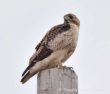 red_tail_hawk003