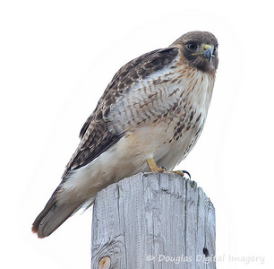 red_tail_hawk005